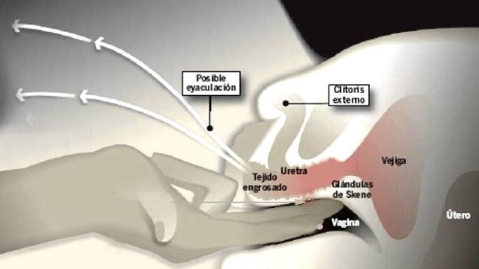 Orefizi ghiandole parauretaliprostata